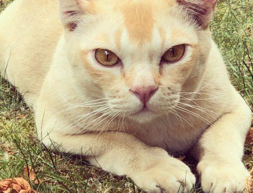 Katzenstreiche