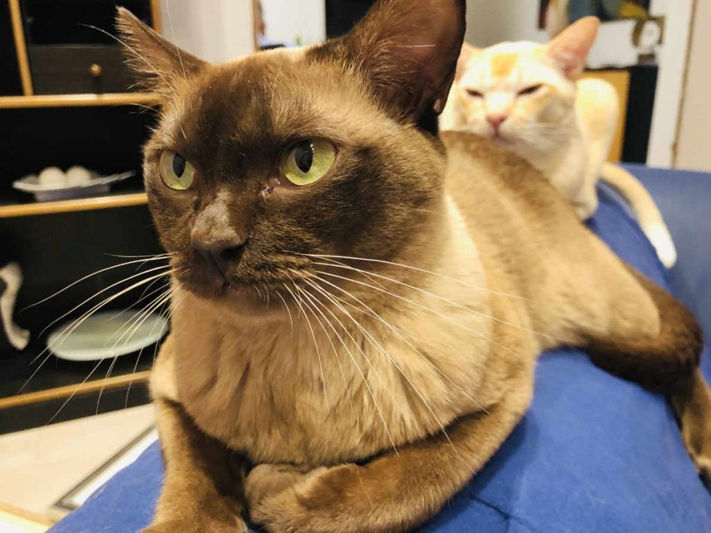 Unsere Burmakatzen
